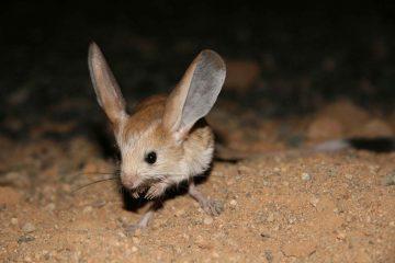 ¿Qué animal tiene las orejas más grandes con relación a su cuerpo?